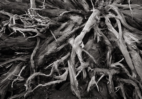 Roots, Mount St. Helens National Volcanic Monument | by austin granger