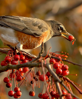 American Robin and Berry | by William Jobes