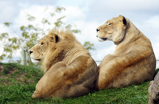 African lions | by MiracleOfCreation (ON)