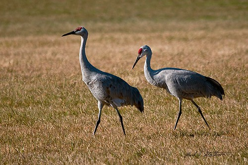 Sandhill Cranes | by MAM Photography