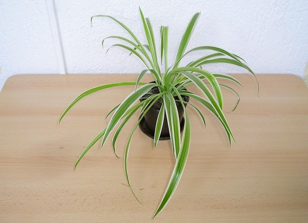 gr nlilie chlorophytum comosum ocean archivbild 2005 200 flickr. Black Bedroom Furniture Sets. Home Design Ideas