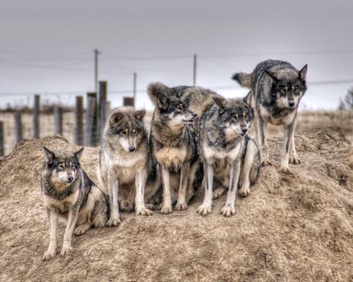 Wolf Pack | Wild Animal Sanctuary in Keenesburg, Colorado ...