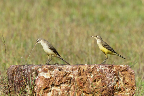Yellow Wagtail | by Earthshine..