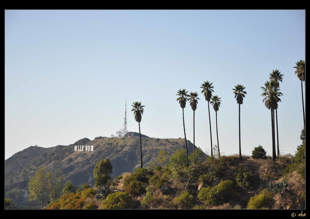 Palm Trees Hollywood Hollywood Palm Trees