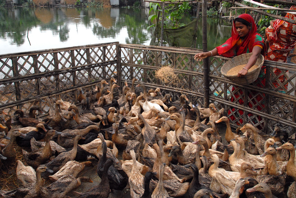 poultry farms in bangladesh essay Free essay: the layers and broiler birds too should be reared separately because the same infective agent may have different pathogen city in two types of.