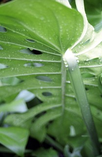 Philodendron After Rain | by Burnt Umber