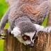 Lemur on the log