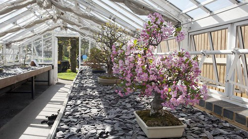 Bonsai blossoms | by Kew on Flickr