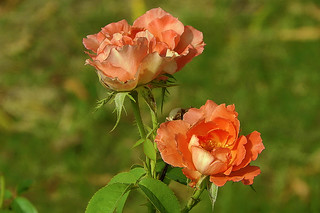 rose for you | by TARIQ HAMEED SULEMANI