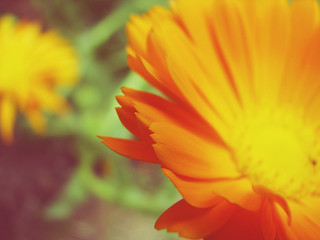 Marigold | by rosiemoonshine