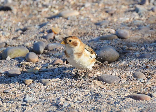 Snow Bunting | by OWL62