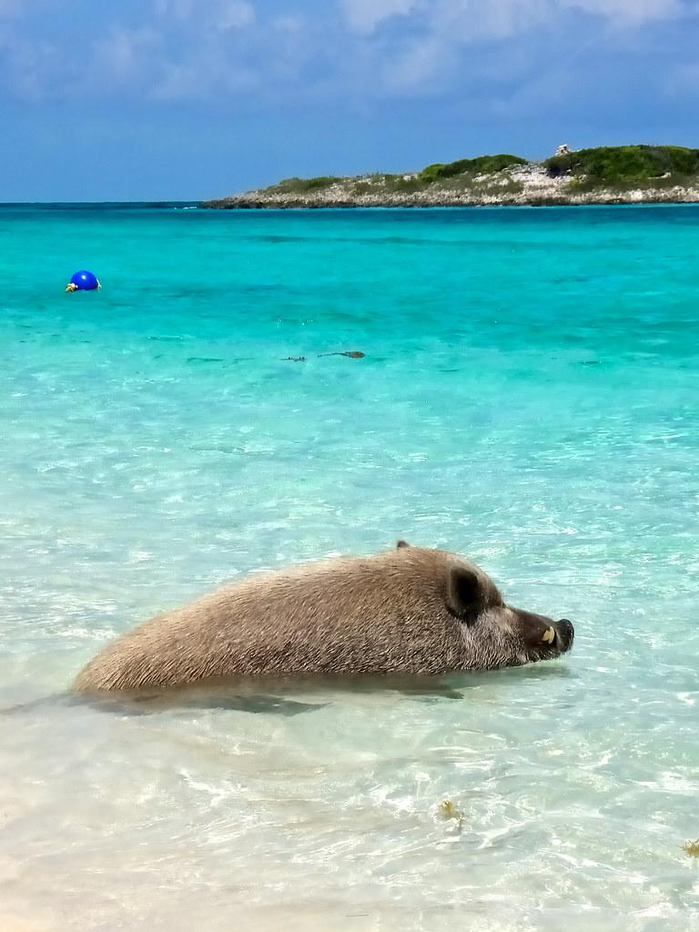 Beach Pig