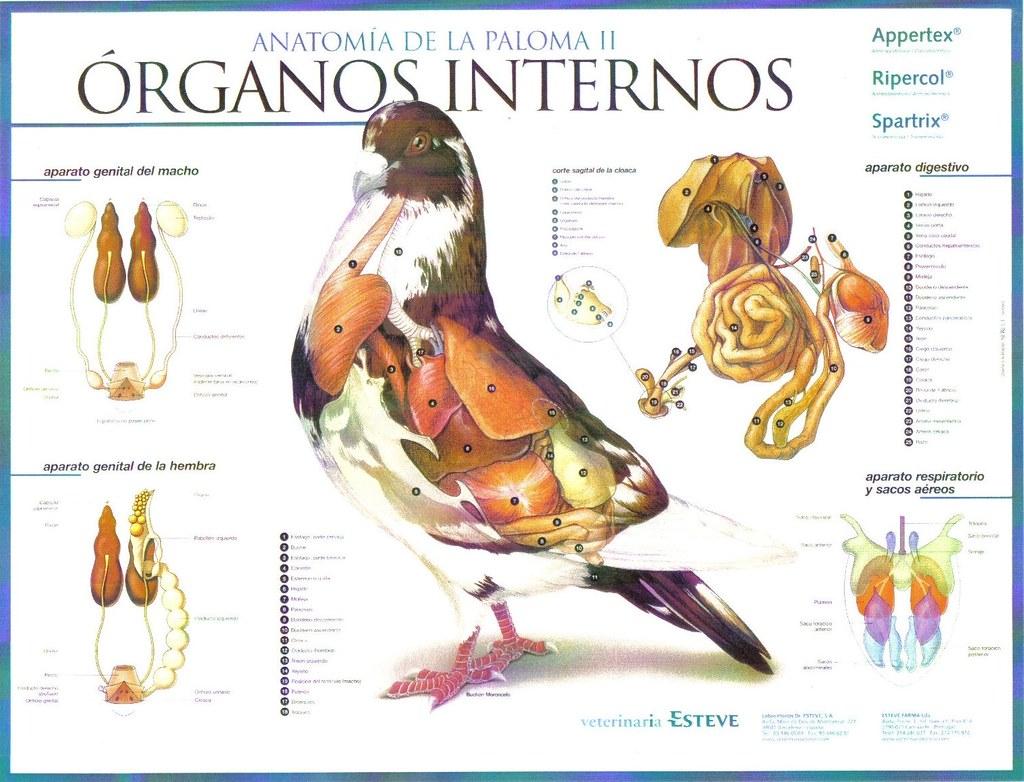 Anatomía de la Paloma | Organos Internos | C.C. Real Hespérides | Flickr
