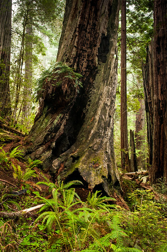 redwood trees | by Sam Scholes