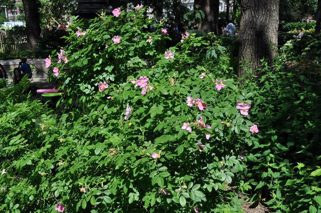 pasture rose in flower | Rosa carolina. Native shrub is ...