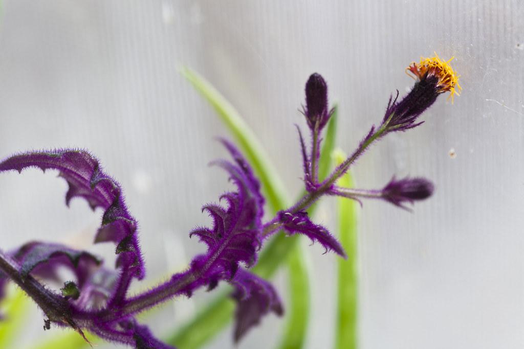 velvet plant bloom #1