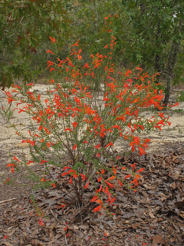 Clinopodium coccineum, Ohoopee Dunes Natural Area, Covena Tract, Emanuel County, Georgia 1 | by Alan Cressler