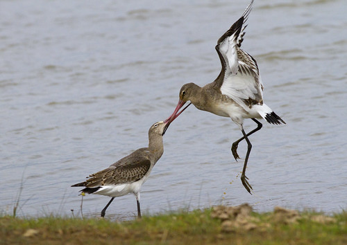 Black-tailed godwit's | by Edd's Images