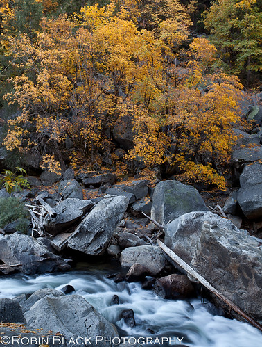 Black Oaks on the Merced River (Yosemite National Park) | by Robin Black Photography