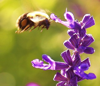 BEE  landing heree !!  2011. | by fotogjohnh!! Photostream.seen by milions!