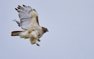 A Red Tail Hawk launch... | by Mike Martin, Wildlife Photography