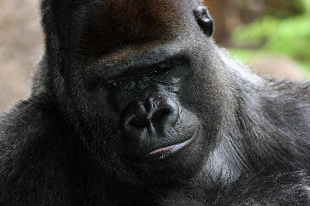 Gorilas en la niebla lemabetis flickr for Gorilas en la niebla