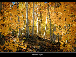 Autumn Aspens | by Dave Toussaint (www.photographersnature.com)