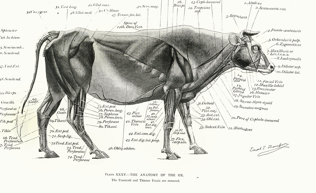 Musculature of the Ox | Art Anatomy of Animals: Being a Brie… | Flickr