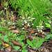 Ponthieva racemosa colony