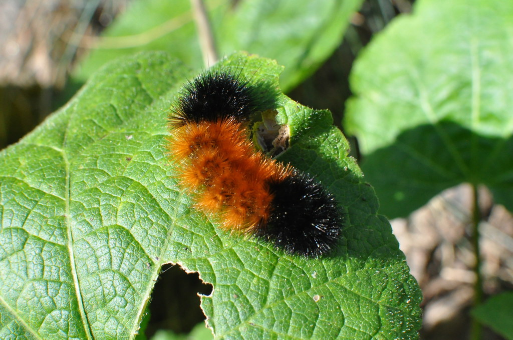 isabella tiger moth caterpillar