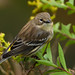 _53F8027 Yellow-rumped Warbler on goldenrod