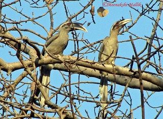 Indian Grey Hornbill (Ocyceros birostris) | by Meenakshi Mallik