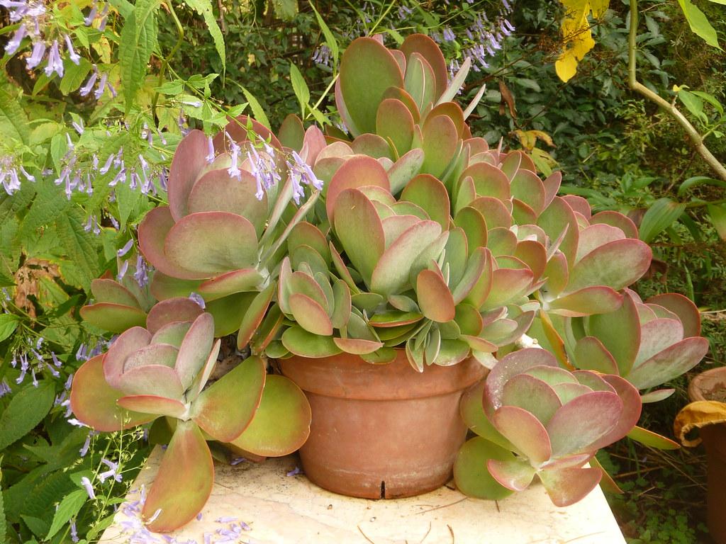 Kalanchoe Thyrsiflora At Adsworthy Garden Cooler Weather