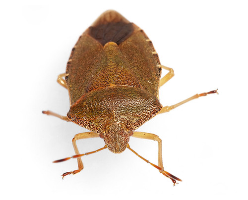 Green Shieldbug - adult in autumn colours | by afterforty‽