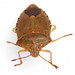 Green Shieldbug - adult in autumn colours