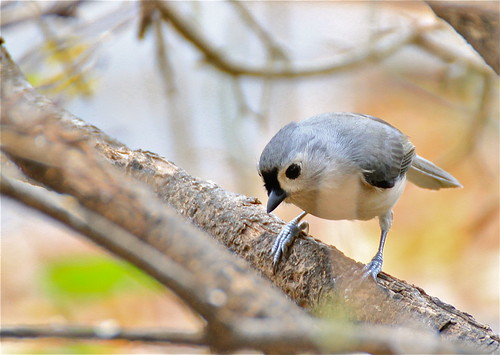 IMG_1831 Tufted Titmouse | by ForestPath