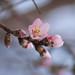 DSC_1904  Кайсия (Prunus armeniaca)