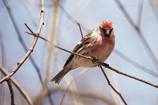 Common Redpoll, Central Park | by Ed Gaillard