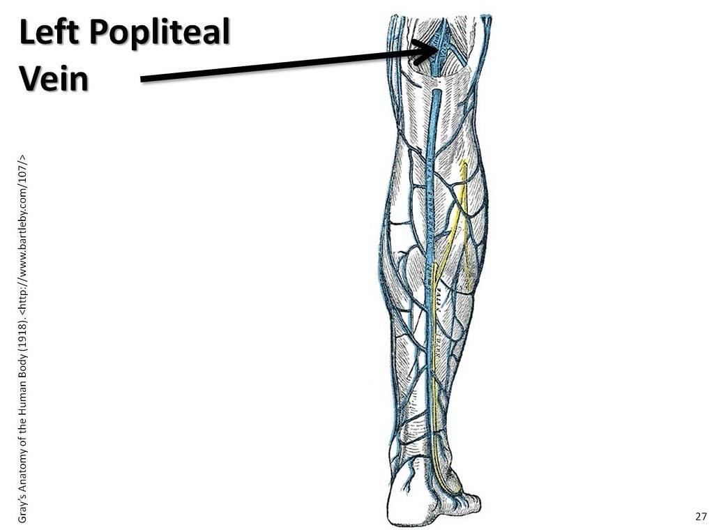 Left Popliteal Vein The Anatomy Of The Veins Visual Guid Flickr
