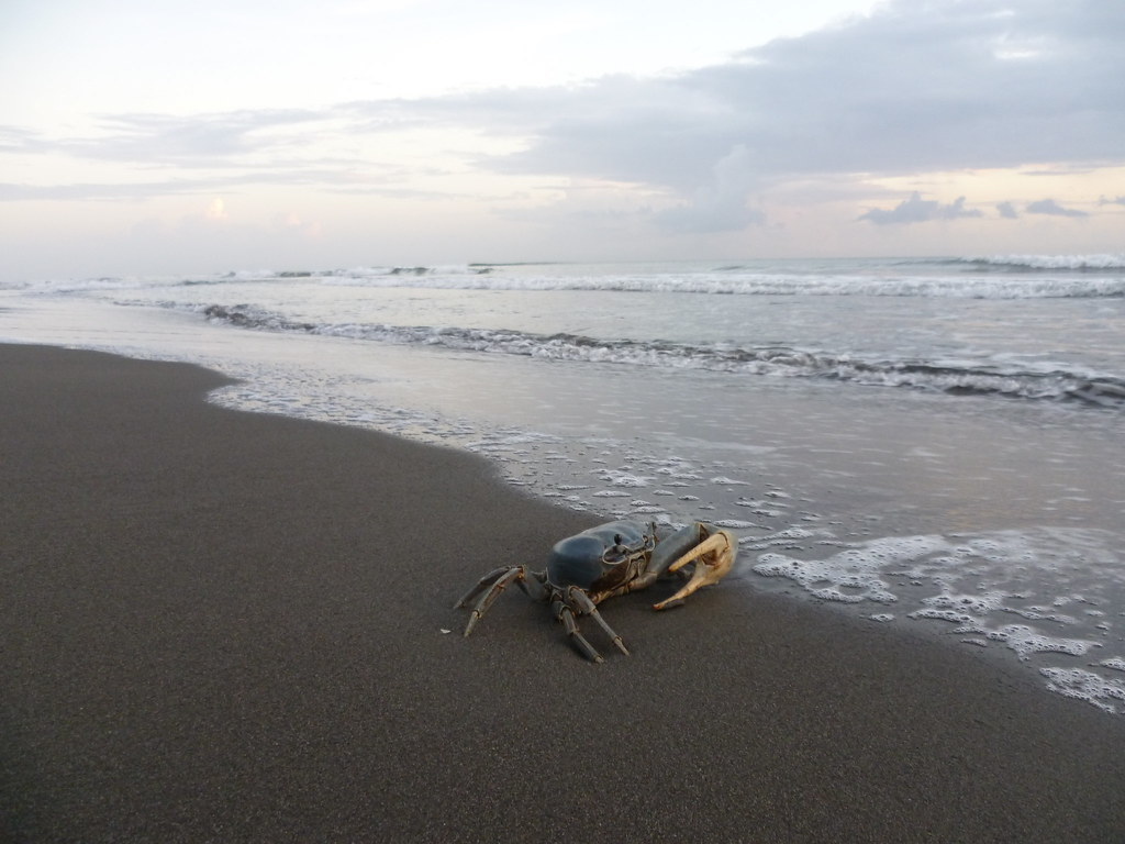 Giant Blue Land Crab Patri Giant Blue Land Crab