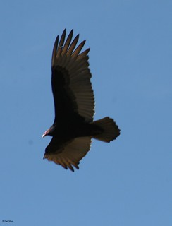 Turkey Vulture | by photofreak_08