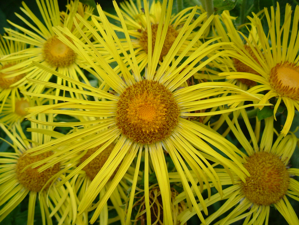 Beautiful Yellow Aster Flowers Cluster Of Southwark Park Flickr
