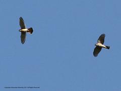 Sharp-shinned Hawk vs American Kestrel