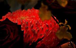 DSC_0058_058 Red light (Chrysanthemum) | by tsuping.liu