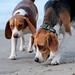 Beagles on Kewarra Beach