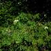 Sambucus racemosa? Red Elderberry