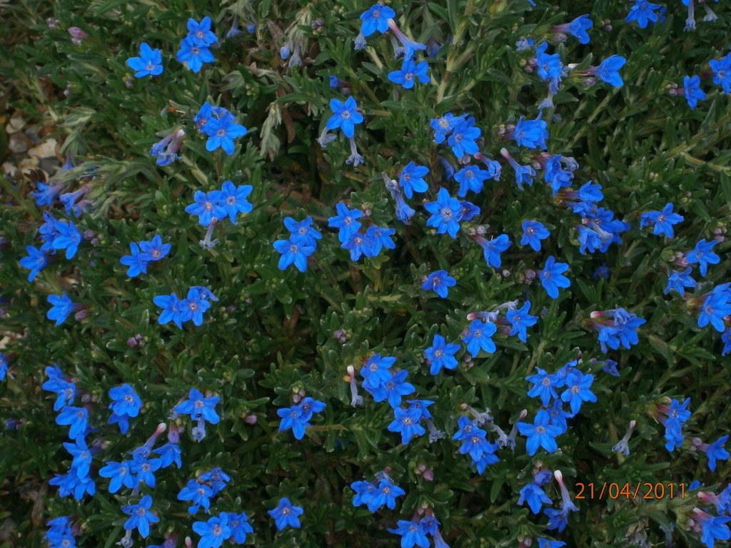lithodora diffusa 39 heavenly blue 39 davis200439 flickr. Black Bedroom Furniture Sets. Home Design Ideas