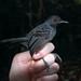 Percnostola rufifrons Black-headed Antbird