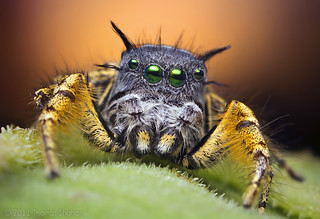 Adult Male Jumping Spider at Sunset - Phidippus mystaceus | by Thomas Shahan