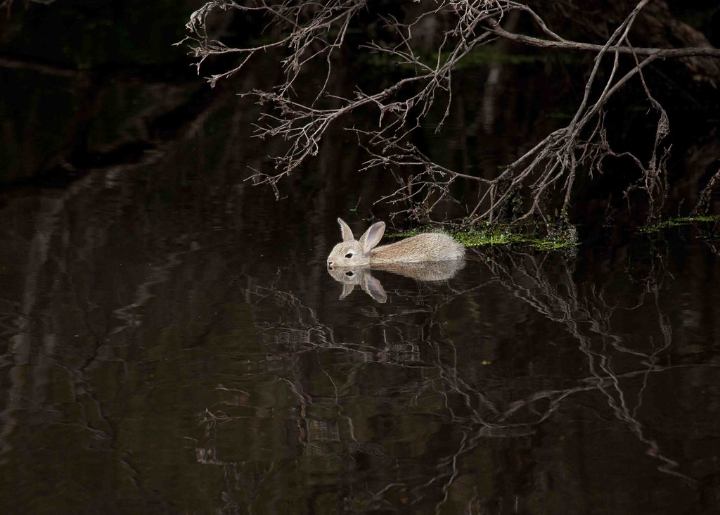 swimming rabbit today while watching for birds this rabbit flickr